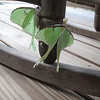 05/27/11 - The luna moth committee is meeting on my front porch this afternoon.