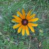 06/03 Yellow daisy