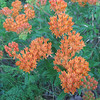 06/02/11 Aren't these lovely? flame orange with delicate, detailed little flowers. 07/28/12 Update: Thanks to Tennessee Conservationist, I now know this is called butterflyweed.