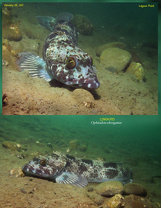 LINGCOD 	( Ophiodon elongatus ). Lagoon Point. January 26, 2011