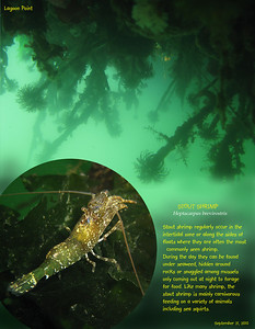 STOUT SHRIMP( Heptacarpus brevirostris ) in its environment under the floating dock. Lagoon Point, Whidbey Island. September 21, 2010