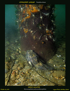 GREAT SCULPIN( Myoxocephalus polyacanthocephalus), and plenty of COONSTRIPE SHRIMP ( Pandalus danae ). Lagoon Point. Whidbey Island. October 18, 2010