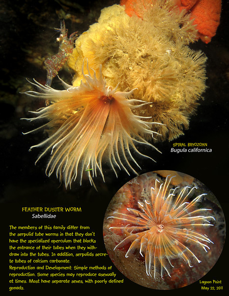 FEATHER DUSTER WORM. Lagoon Point. Whidbey Island. May 22, 2011
