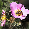 Wildrose and bee