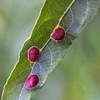 Color of leaf