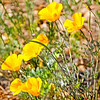California poppy, state flower