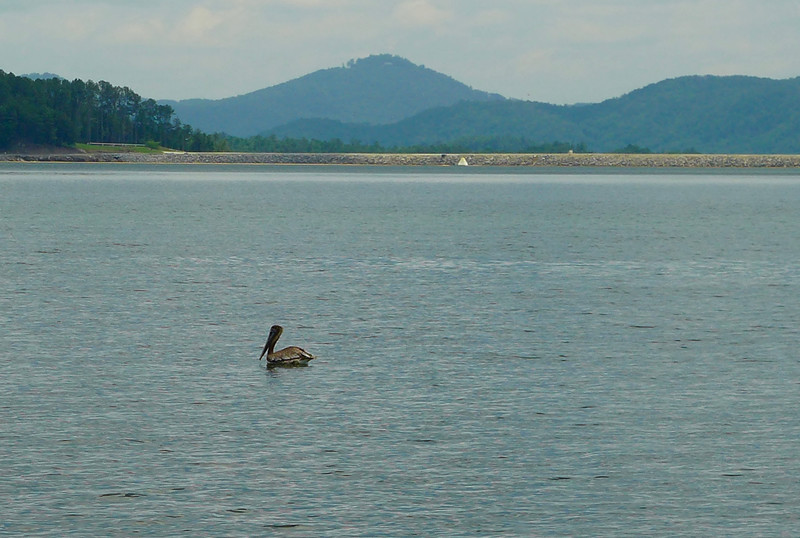 The first highlight of the day was seeing this fellow ... a PELICAN.   According to the boat full of Master Naturalists, this is very unusual since this is a salt water bird (and Lake Jocassee is a fresh water lake).