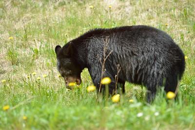 Black Bear, Banff Park June 2013