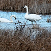 Tundra Swans on Lake Mattamuskeet Impoundment