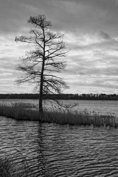 Cypress Tree, Lake Mattamuskeet