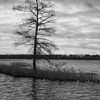 Cypress Tree, Lake Mattamuskeet