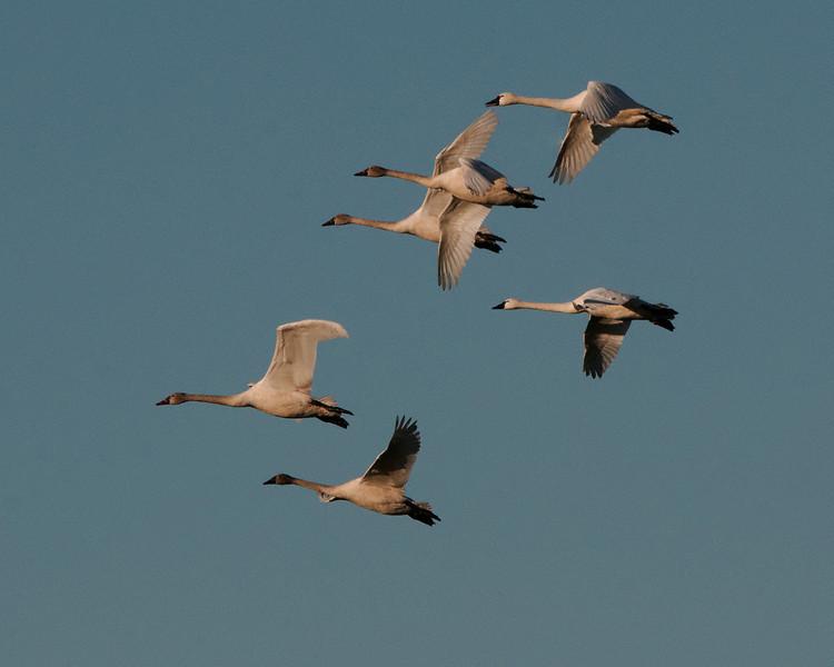 Tundra Swans in Flight II