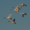 Tundra Swans in Flight II