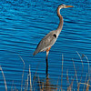 Blue Heron on Lake Mattamuskeet