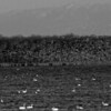 Snow Geese Liftoff in Black and White