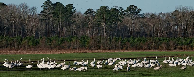 Tundra Swans Feeding