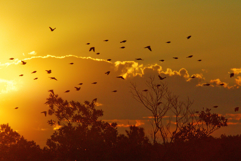 Red-Wing Black Birds at Dawn