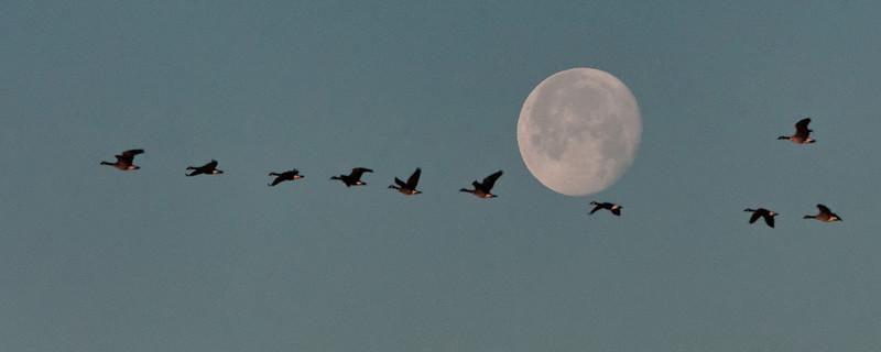 Tundra Swans and Full Moon