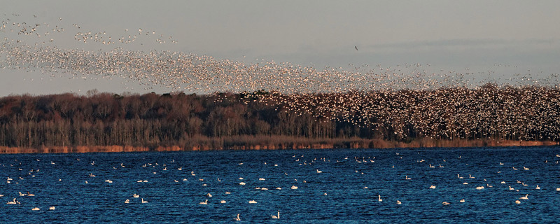 Snow Geese Liftoff!