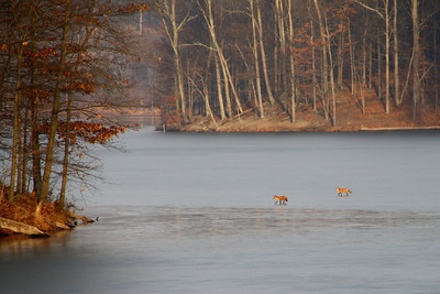 Foxes on lake.  Little Lake Seneca, Germantown, MD