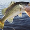 A perfectly conditioned largemouth freshwater bass, this one is about 1 lb 8 oz.
