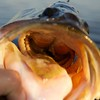 Looking into the mouth of  4-5 lb largemouth freshwater bass.