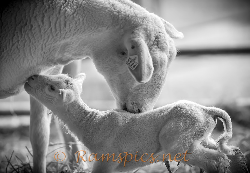 Lambing season at Tirrells farm, May 2014