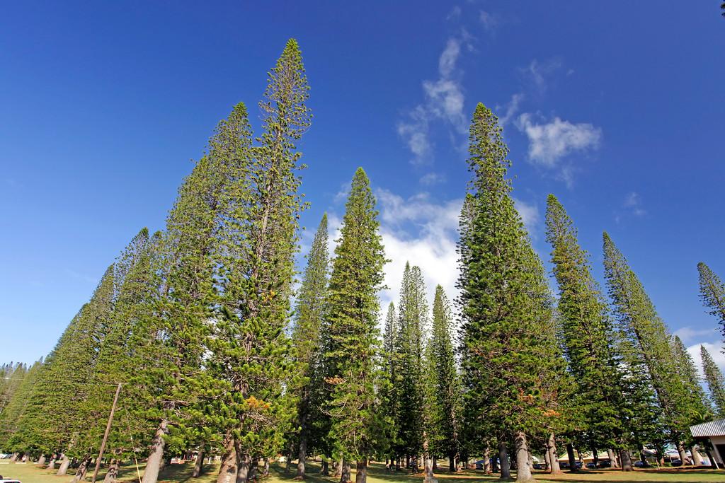 Cook Pines - Dole Park - Lana'i, Hawaii