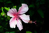 Hibiscus - Lana'i, Hawaii