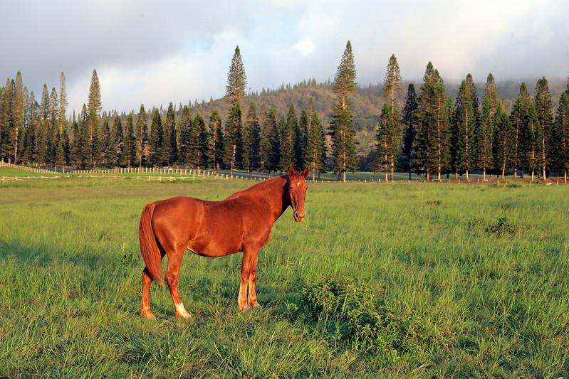Horse - Koele Riding Stables -  Lana'i, Hawaii