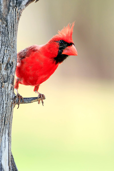 Brazillian Cardinal - Lana'i, Hawaii