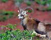 Mouflon -  Lana'i, Hawaii