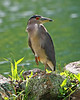 Black-crowned Night Heron ('Auku'u) - Lana'i, Hawaii
