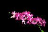 Orchids - Lana'i, Hawaii