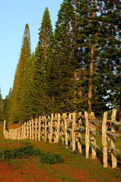 Koele Fence and Cook Pines - Lana'i, Hawaii