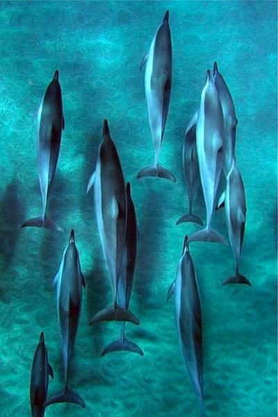 Spinner Dolphins - Hulopo'e Bay - Lana'i, Hawaii