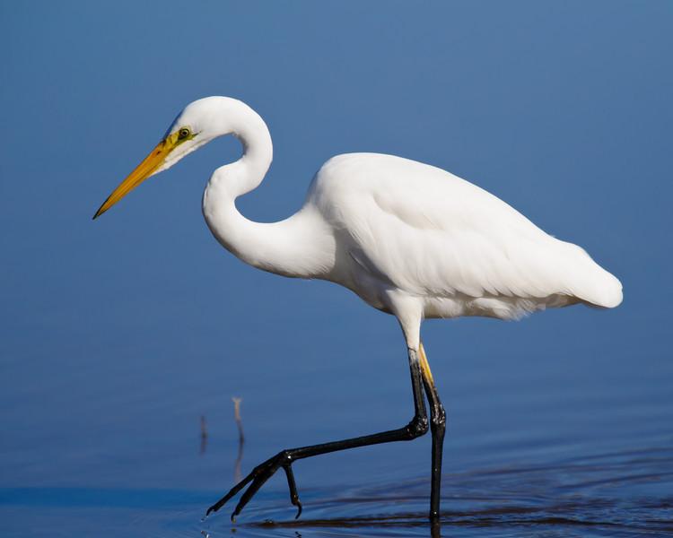 Great Egret feeding at Garden Island