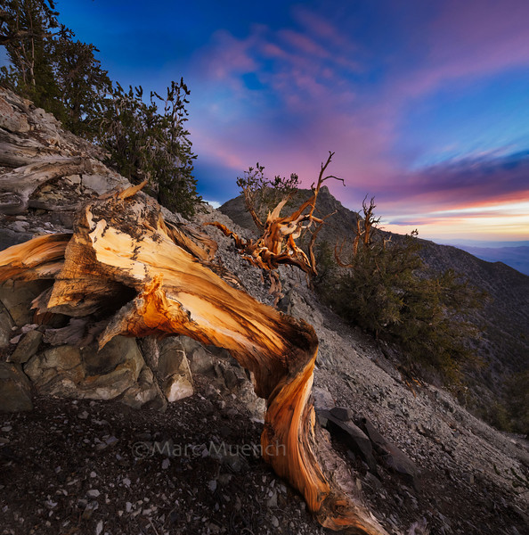 ©Marc Muench - Bristlecone Pine, Inyo Range, California ©Marc Muench