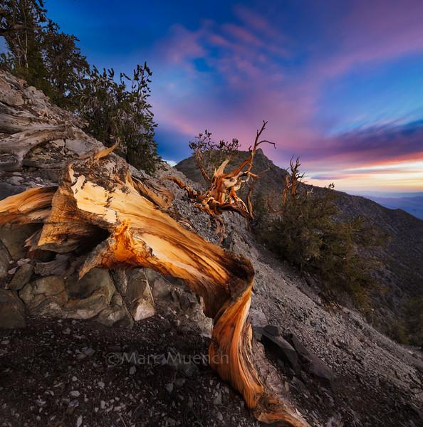 ©Marc Muench - Bristlecone Pine, Inyo Range, California ©Marc Muench