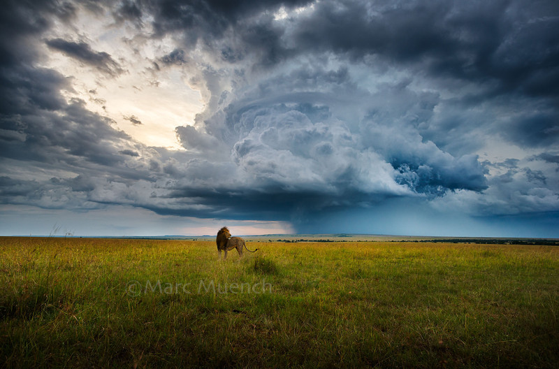©Marc Muench - Male Lion, Maasai Mara National Reserve, Kenya