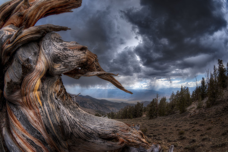 ©Marc Muench - Bristlecone pine stump, White Mountains, Inyo National Forest, California