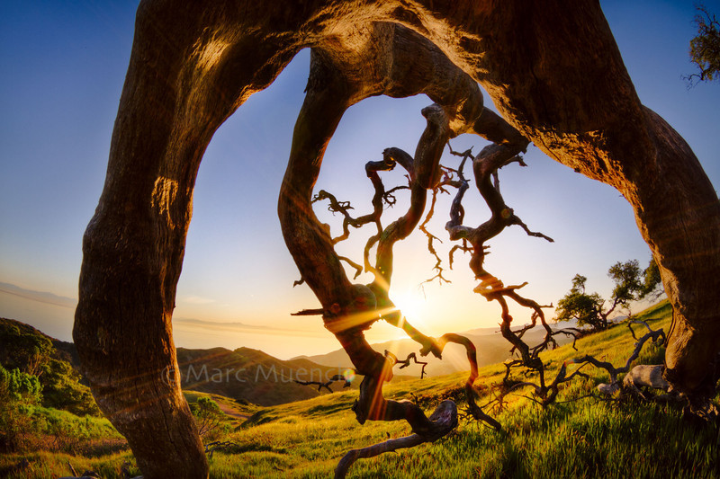 ©Marc Muench - fallen Scrub Oak skeleton, Santa Catalina Island, Channel Islands, California