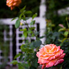Rose Gardens.