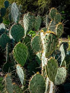 Pricklet Pear Cactus - 19
