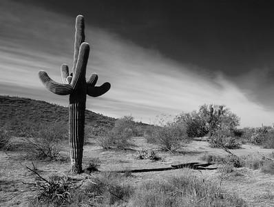 Saguro Cactus in Black & White  - 19