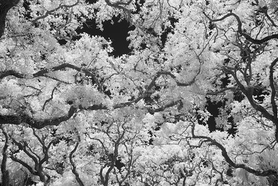 Trees, Infrared
