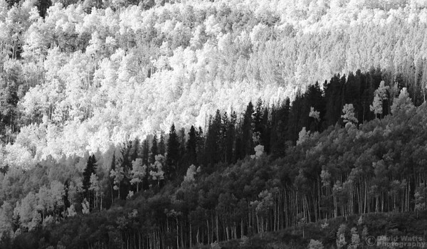 Colorful Aspens in Black and White