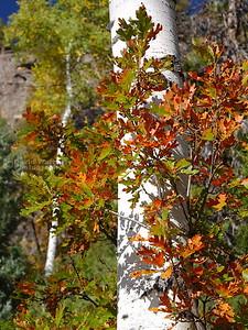 Aspen and Oak