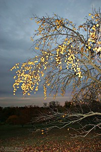 Golden Apples at Twilight