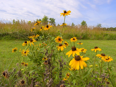 Black-eyed Susans - Blackwater National Wildlife Refuge